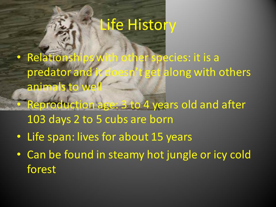 Life History Relationships with other species: it is a predator and it doesn't get along with others animals to well Reproduction age: 3 to 4 years old and after 103 days 2 to 5 cubs are born Life span: lives for about 15 years Can be found in steamy hot jungle or icy cold forest