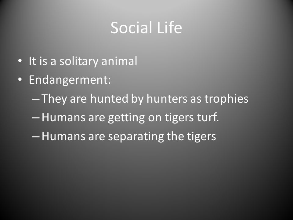 Social Life It is a solitary animal Endangerment: – They are hunted by hunters as trophies – Humans are getting on tigers turf.