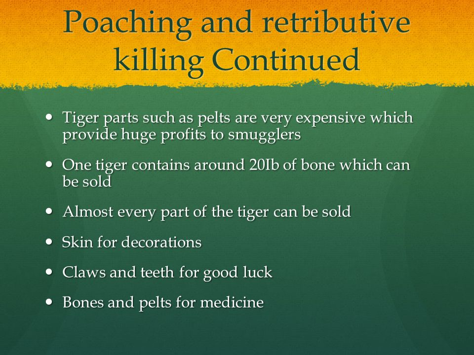 Poaching and retributive killing Continued Tiger parts such as pelts are very expensive which provide huge profits to smugglers Tiger parts such as pelts are very expensive which provide huge profits to smugglers One tiger contains around 20Ib of bone which can be sold One tiger contains around 20Ib of bone which can be sold Almost every part of the tiger can be sold Almost every part of the tiger can be sold Skin for decorations Skin for decorations Claws and teeth for good luck Claws and teeth for good luck Bones and pelts for medicine Bones and pelts for medicine