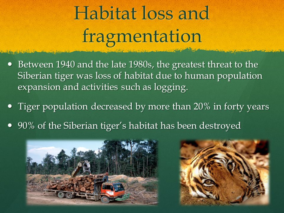 Habitat loss and fragmentation Between 1940 and the late 1980s, the greatest threat to the Siberian tiger was loss of habitat due to human population expansion and activities such as logging.