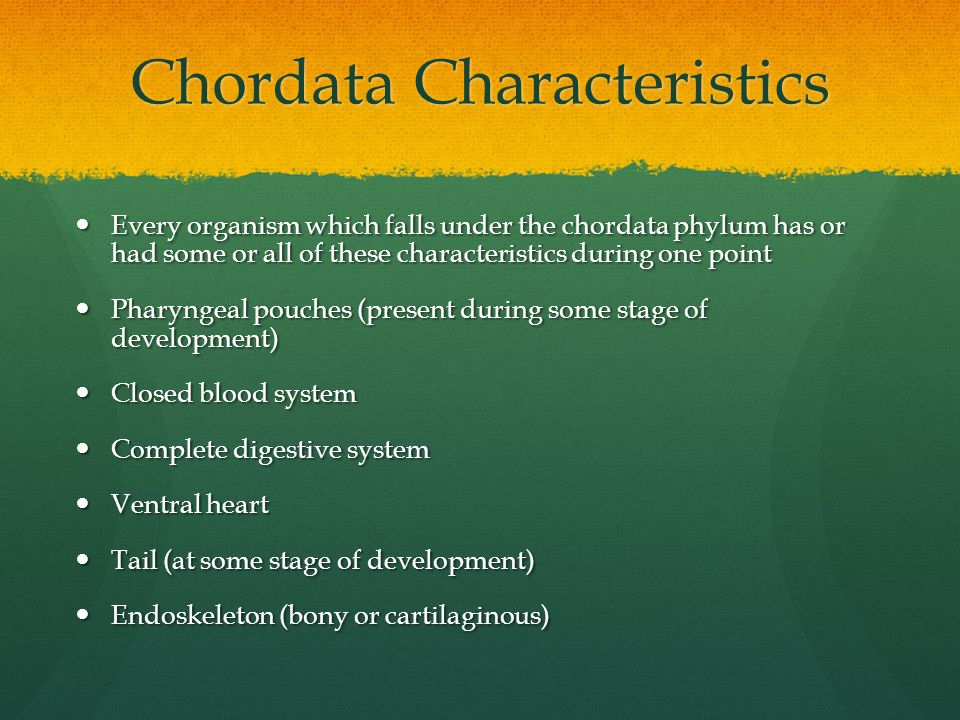 Chordata Characteristics Every organism which falls under the chordata phylum has or had some or all of these characteristics during one point Every organism which falls under the chordata phylum has or had some or all of these characteristics during one point Pharyngeal pouches (present during some stage of development) Pharyngeal pouches (present during some stage of development) Closed blood system Closed blood system Complete digestive system Complete digestive system Ventral heart Ventral heart Tail (at some stage of development) Tail (at some stage of development) Endoskeleton (bony or cartilaginous) Endoskeleton (bony or cartilaginous)