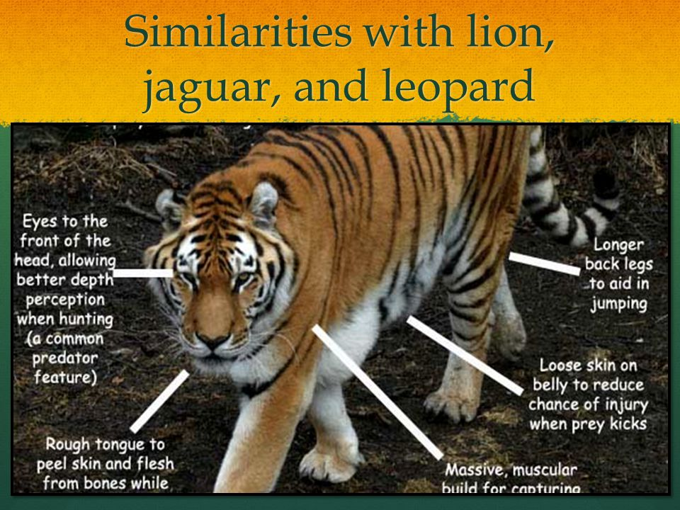 Similarities with lion, jaguar, and leopard