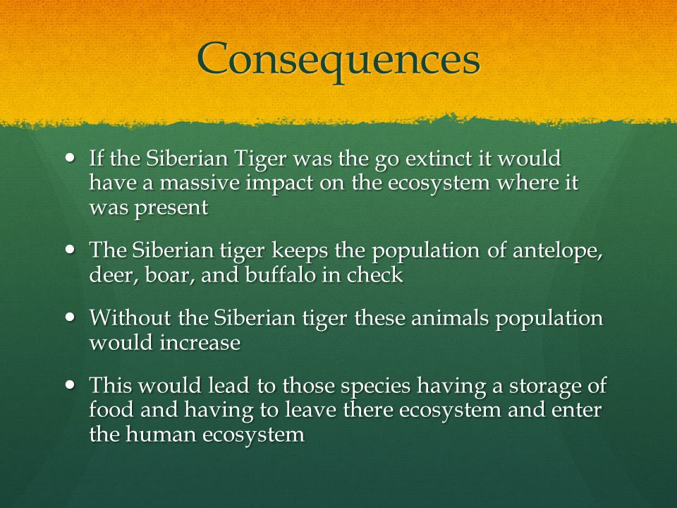 Consequences If the Siberian Tiger was the go extinct it would have a massive impact on the ecosystem where it was present If the Siberian Tiger was the go extinct it would have a massive impact on the ecosystem where it was present The Siberian tiger keeps the population of antelope, deer, boar, and buffalo in check The Siberian tiger keeps the population of antelope, deer, boar, and buffalo in check Without the Siberian tiger these animals population would increase Without the Siberian tiger these animals population would increase This would lead to those species having a storage of food and having to leave there ecosystem and enter the human ecosystem This would lead to those species having a storage of food and having to leave there ecosystem and enter the human ecosystem