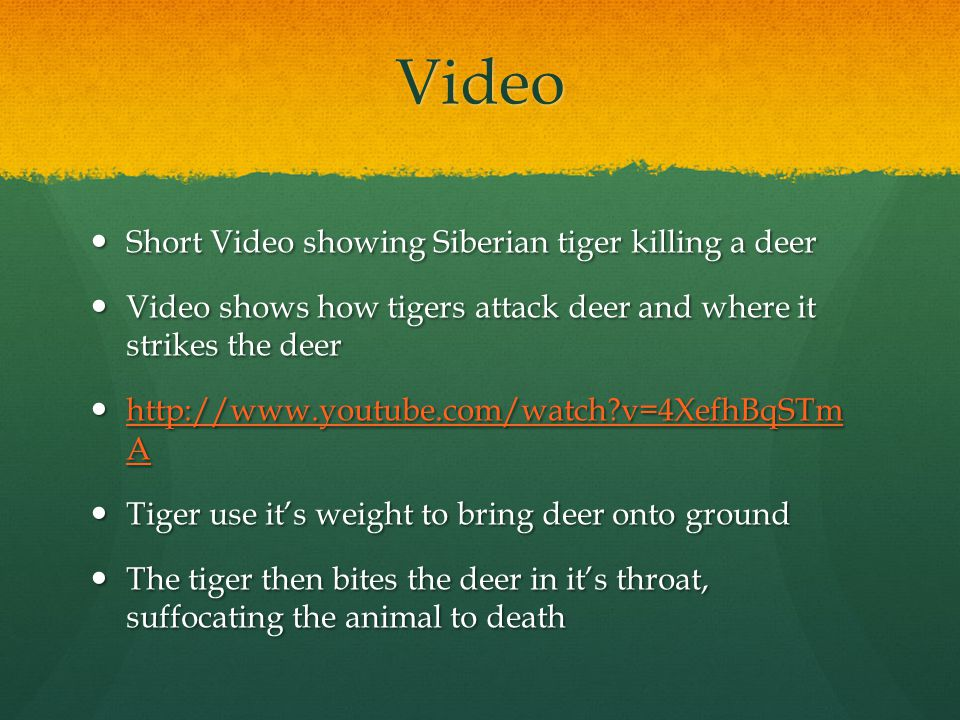Video Short Video showing Siberian tiger killing a deer Short Video showing Siberian tiger killing a deer Video shows how tigers attack deer and where it strikes the deer Video shows how tigers attack deer and where it strikes the deer http://www.youtube.com/watch v=4XefhBqSTm A http://www.youtube.com/watch v=4XefhBqSTm A http://www.youtube.com/watch v=4XefhBqSTm A http://www.youtube.com/watch v=4XefhBqSTm A Tiger use it's weight to bring deer onto ground Tiger use it's weight to bring deer onto ground The tiger then bites the deer in it's throat, suffocating the animal to death The tiger then bites the deer in it's throat, suffocating the animal to death