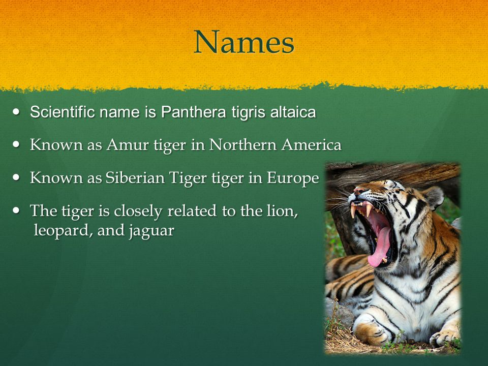 Names Scientific name is Panthera tigris altaica Scientific name is Panthera tigris altaica Known as Amur tiger in Northern America Known as Amur tige