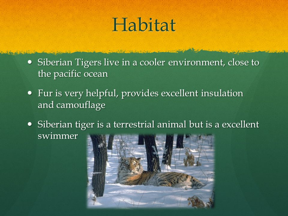 Habitat Siberian Tigers live in a cooler environment, close to the pacific ocean Siberian Tigers live in a cooler environment, close to the pacific oc