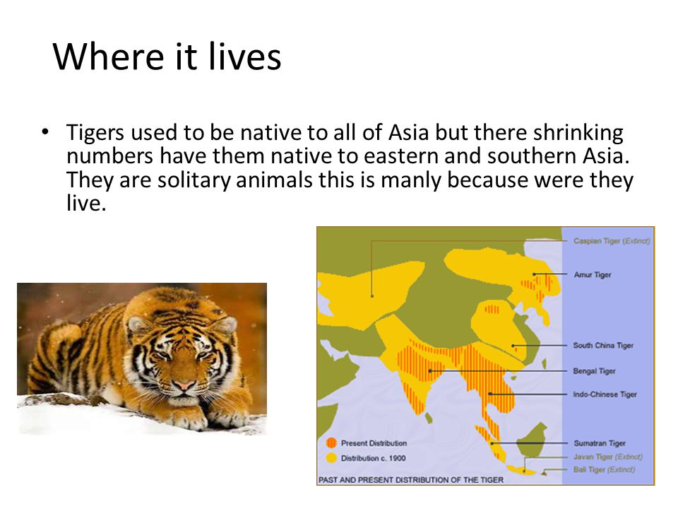 Where it lives Tigers used to be native to all of Asia but there shrinking numbers have them native to eastern and southern Asia. They are solitary an
