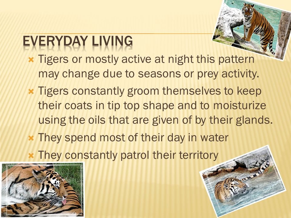  Tigers or mostly active at night this pattern may change due to seasons or prey activity.