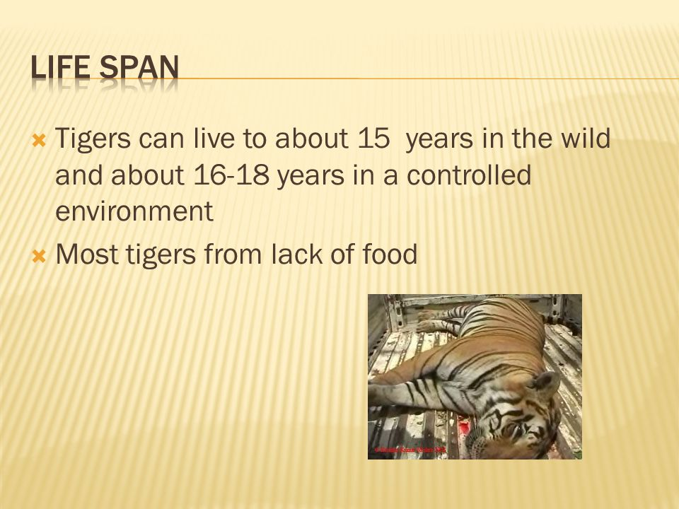  Tigers can live to about 15 years in the wild and about 16-18 years in a controlled environment  Most tigers from lack of food