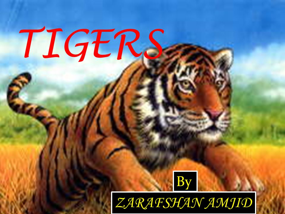 TIGERS By ZARAFSHAN AMJID