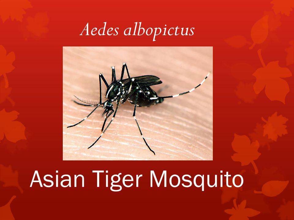 Asian Tiger Mosquito Aedes albopictus