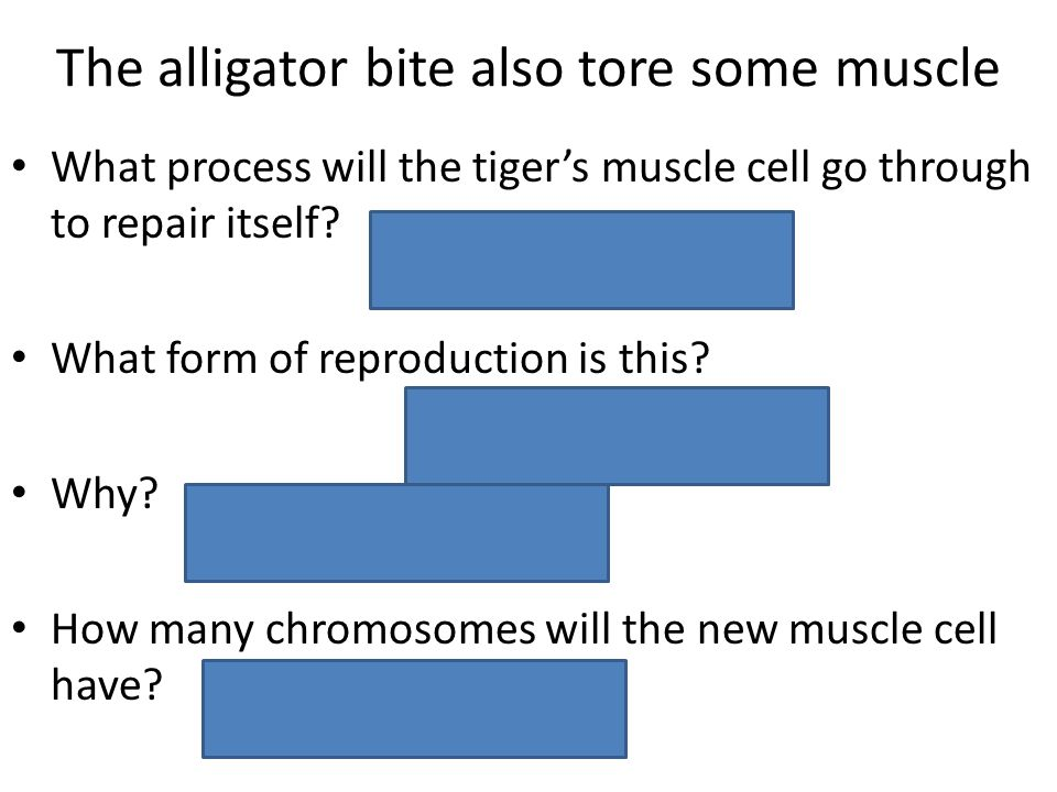 The alligator bite also tore some muscle What process will the tiger's muscle cell go through to repair itself? What form of reproduction is this? Why