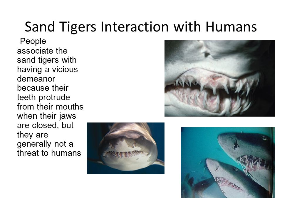 Sand Tigers Interaction with Humans People associate the sand tigers with having a vicious demeanor because their teeth protrude from their mouths when their jaws are closed, but they are generally not a threat to humans