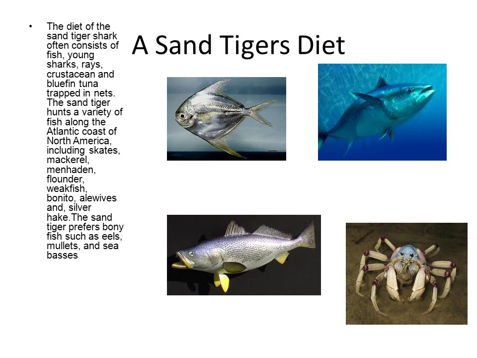 Sand Tigers Description The eyes of the sand tiger shark are small, lacking eyelids, one of the shark s many distinct characteristics.