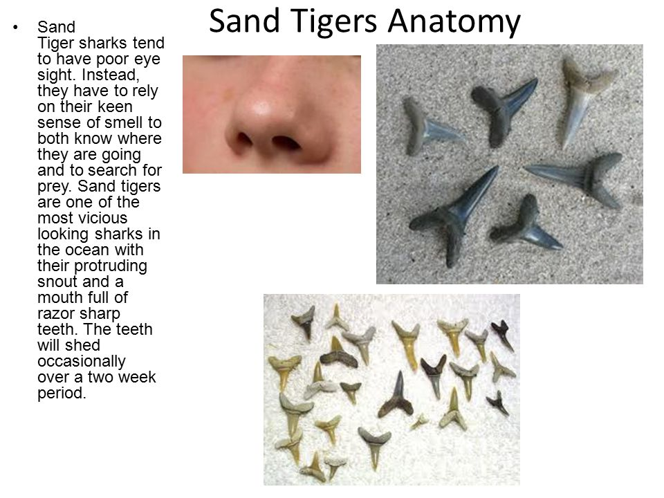 Sand Tigers Anatomy Sand Tiger sharks tend to have poor eye sight.