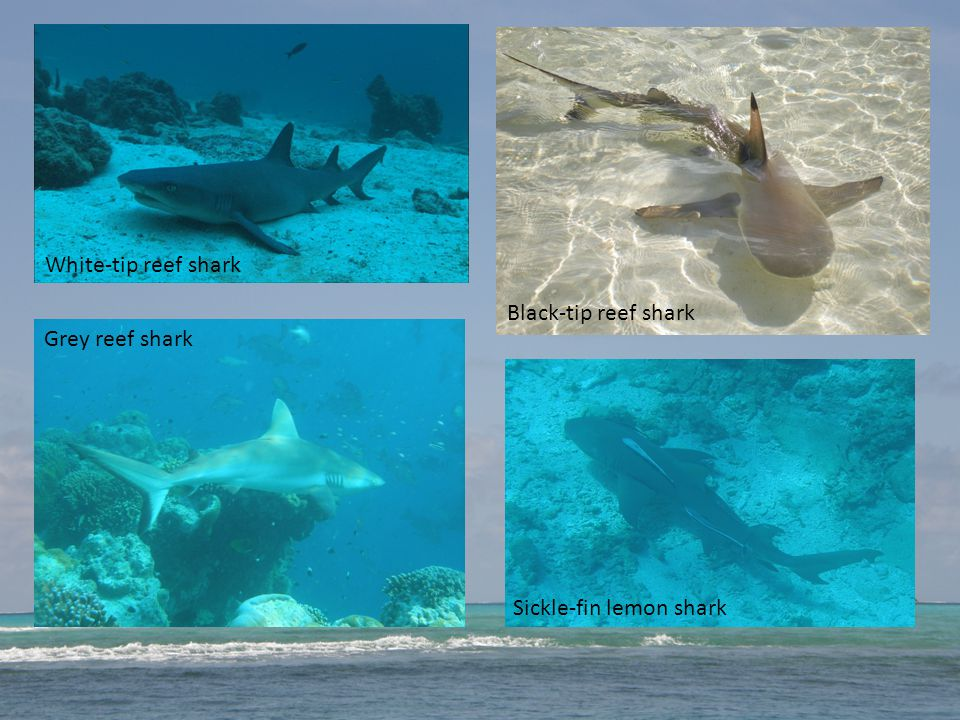 White-tip reef shark Grey reef shark Black-tip reef shark Sickle-fin lemon shark