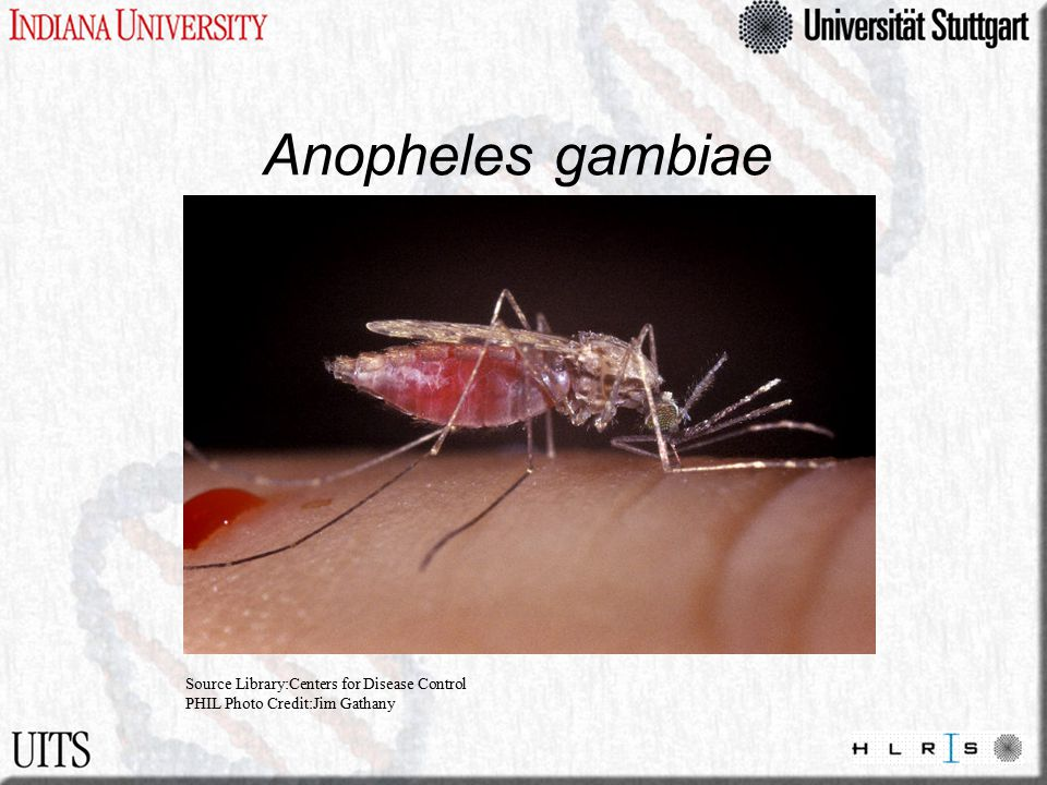 Anopheles gambiae From www.sciencemag.org/feature/data/mosquito/mtm/index.html Source Library:Centers for Disease Control PHIL Photo Credit:Jim Gathany