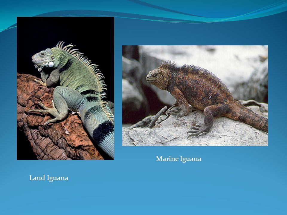 Land Iguana Marine Iguana