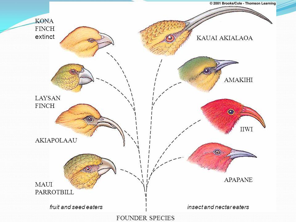 FOUNDER SPECIES insect and nectar eatersfruit and seed eaters KAUAI AKIALAOA AMAKIHI IIWI APAPANE KONA FINCH extinct LAYSAN FINCH AKIAPOLAAU MAUI PARROTBILL