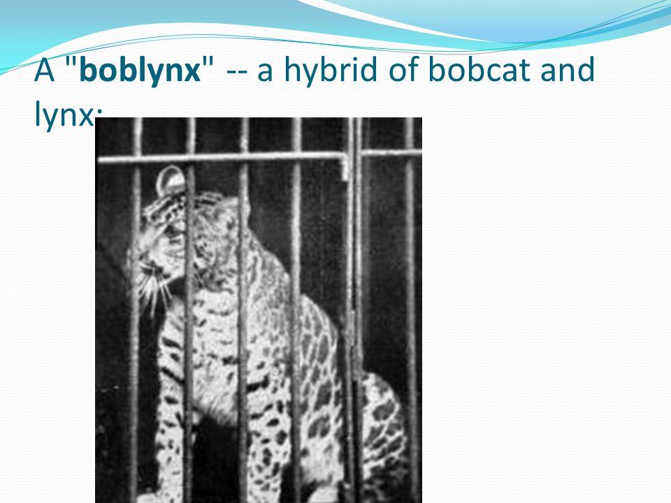 A boblynx -- a hybrid of bobcat and lynx;
