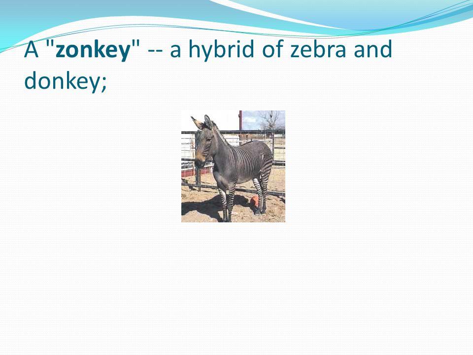 A zonkey -- a hybrid of zebra and donkey;