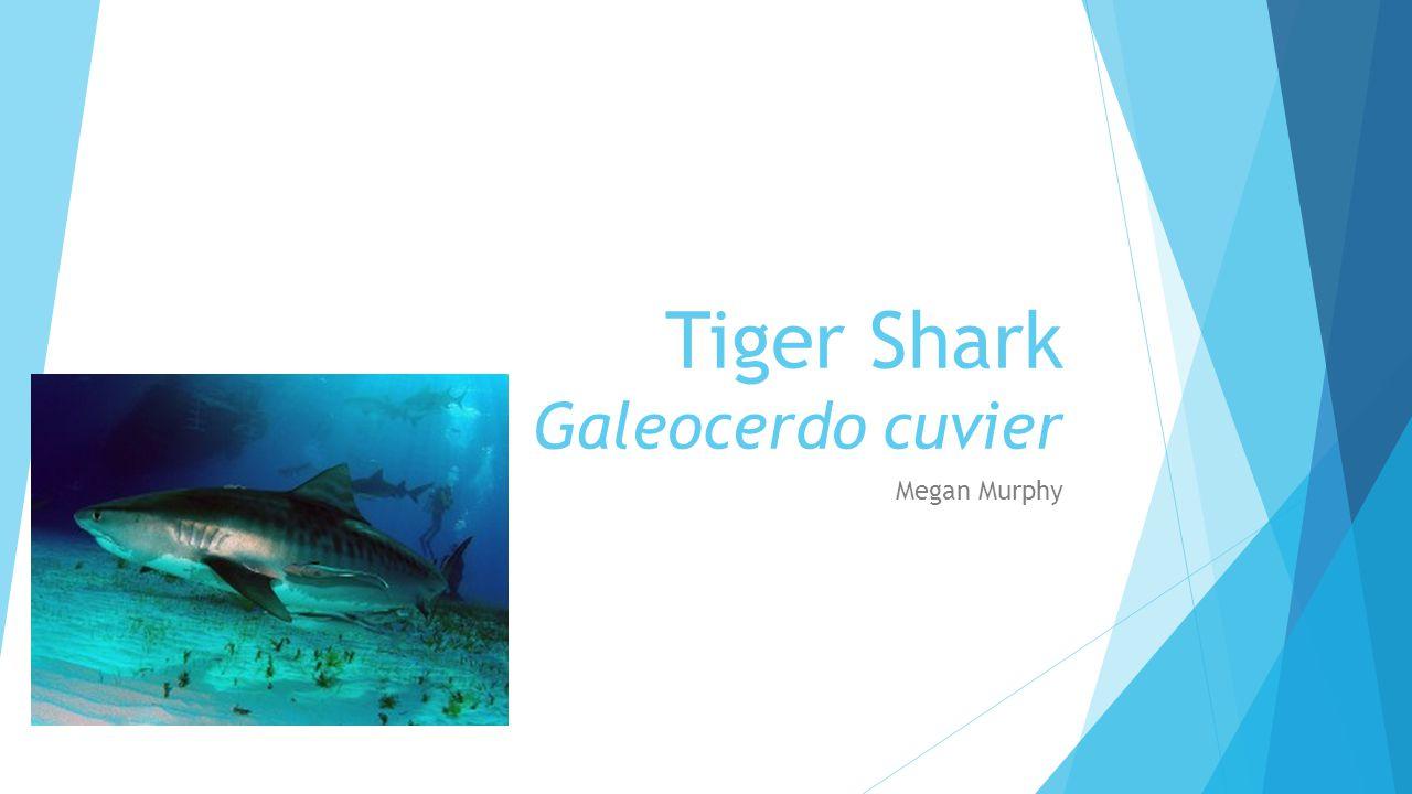 Tiger Shark Galeocerdo cuvier Megan Murphy