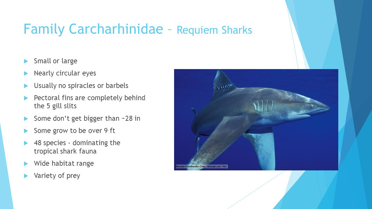 Family Carcharhinidae – Requiem Sharks  Small or large  Nearly circular eyes  Usually no spiracles or barbels  Pectoral fins are completely behind the 5 gill slits  Some don't get bigger than ~28 in  Some grow to be over 9 ft  48 species - dominating the tropical shark fauna  Wide habitat range  Variety of prey