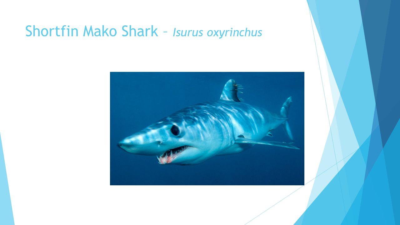 Shortfin Mako Shark – Isurus oxyrinchus