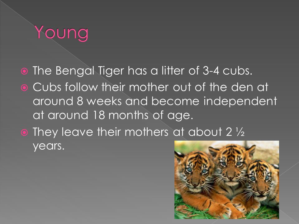  The Bengal Tiger has a litter of 3-4 cubs.