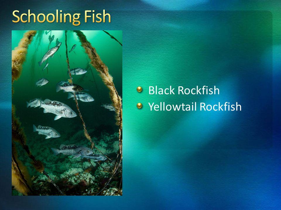 Black Rockfish Yellowtail Rockfish