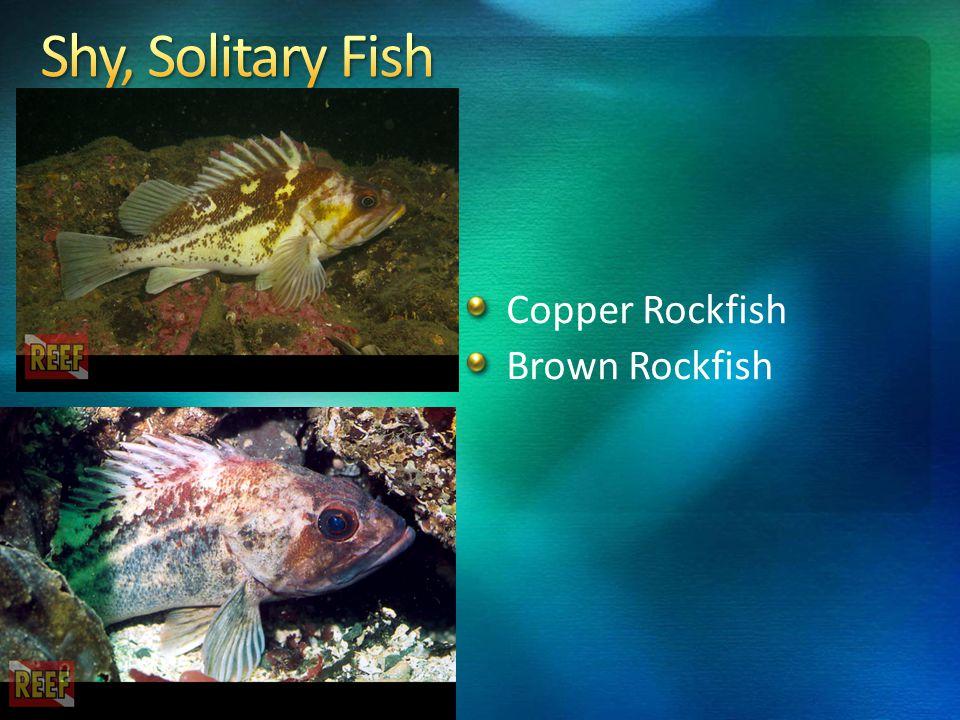 Copper Rockfish Brown Rockfish