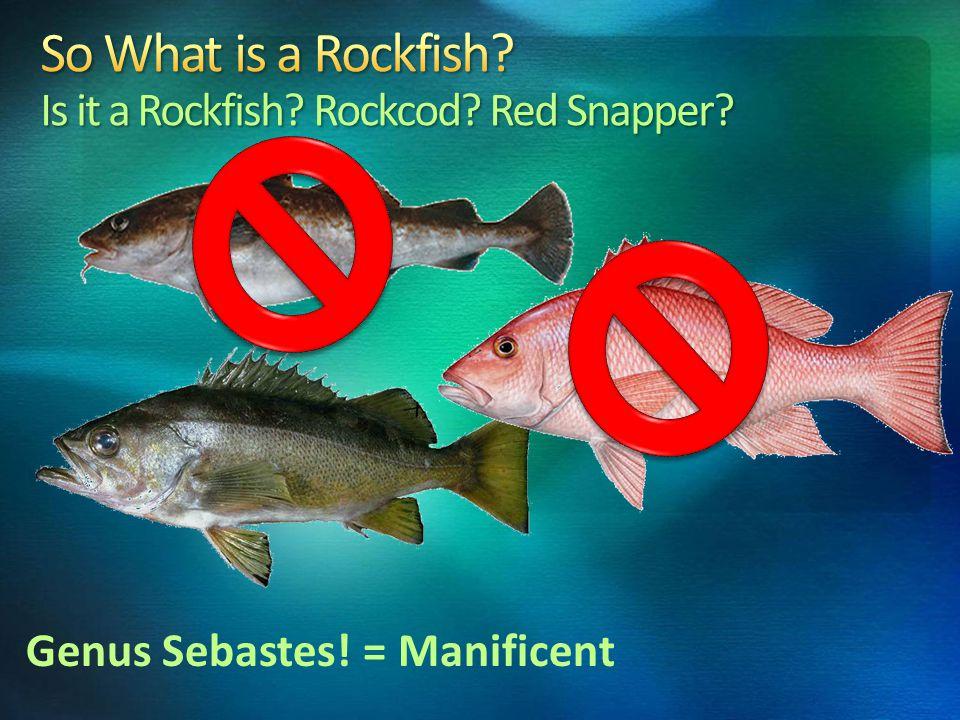 Genus Sebastes! = Manificent