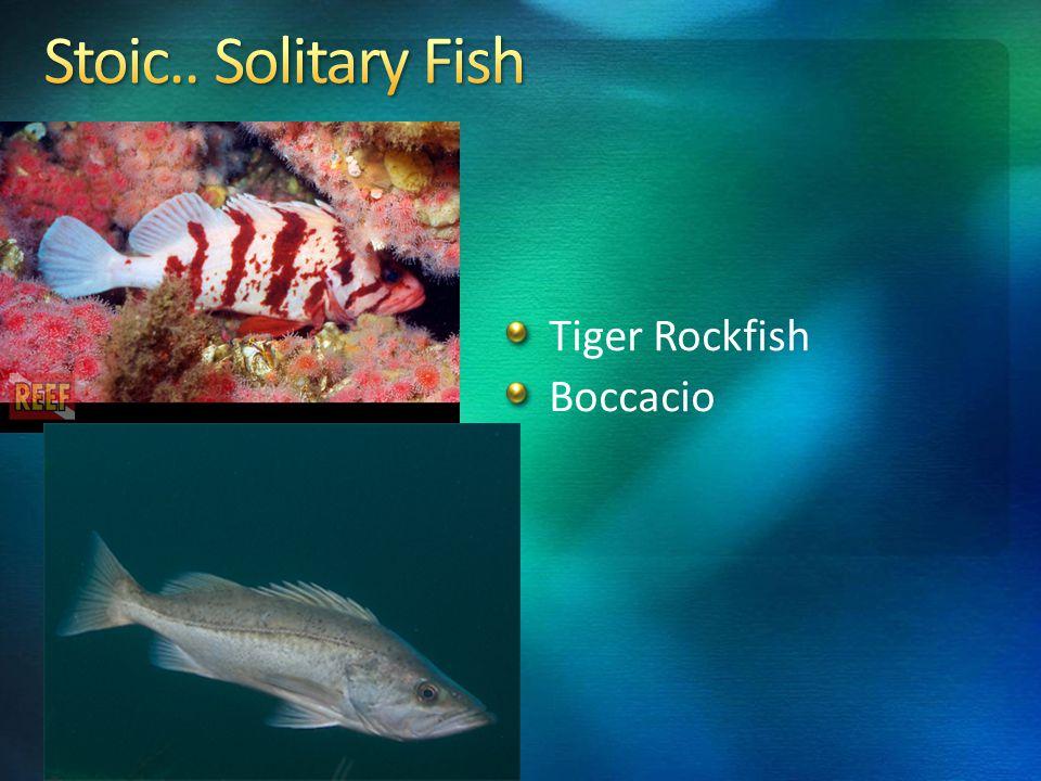 Tiger Rockfish Boccacio