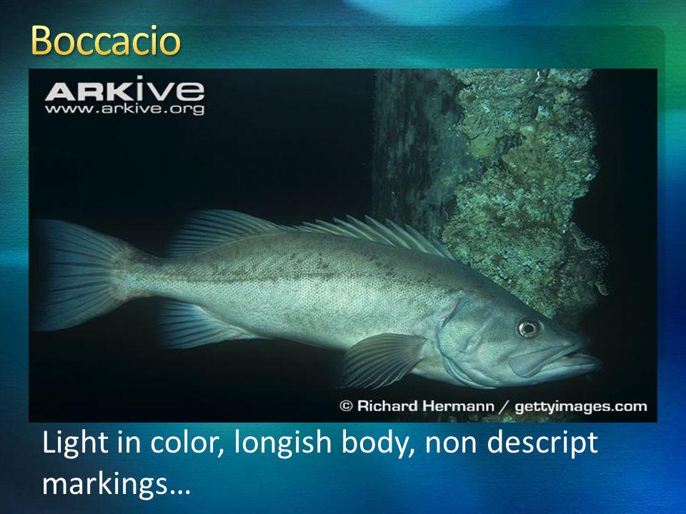 Light in color, longish body, non descript markings…