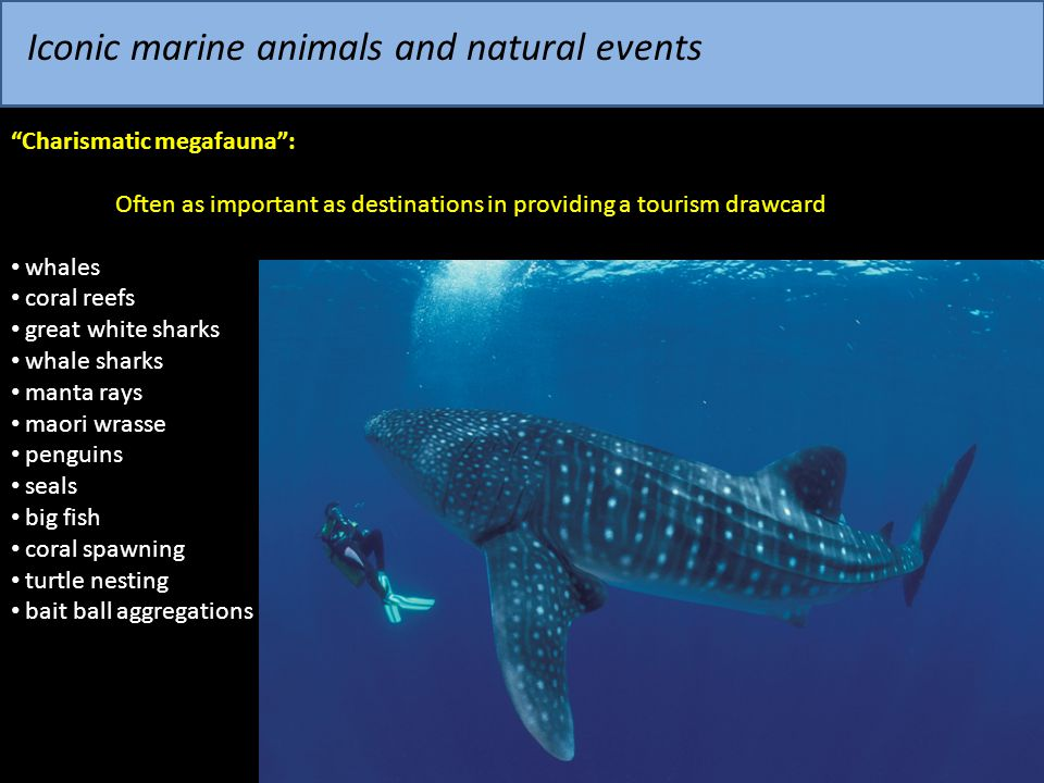 "Iconic marine animals and natural events ""Charismatic megafauna"": Often as important as destinations in providing a tourism drawcard whales coral reef"