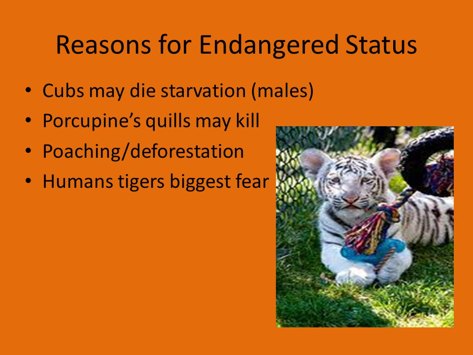 Reasons for Endangered Status Cubs may die starvation (males) Porcupine's quills may kill Poaching/deforestation Humans tigers biggest fear
