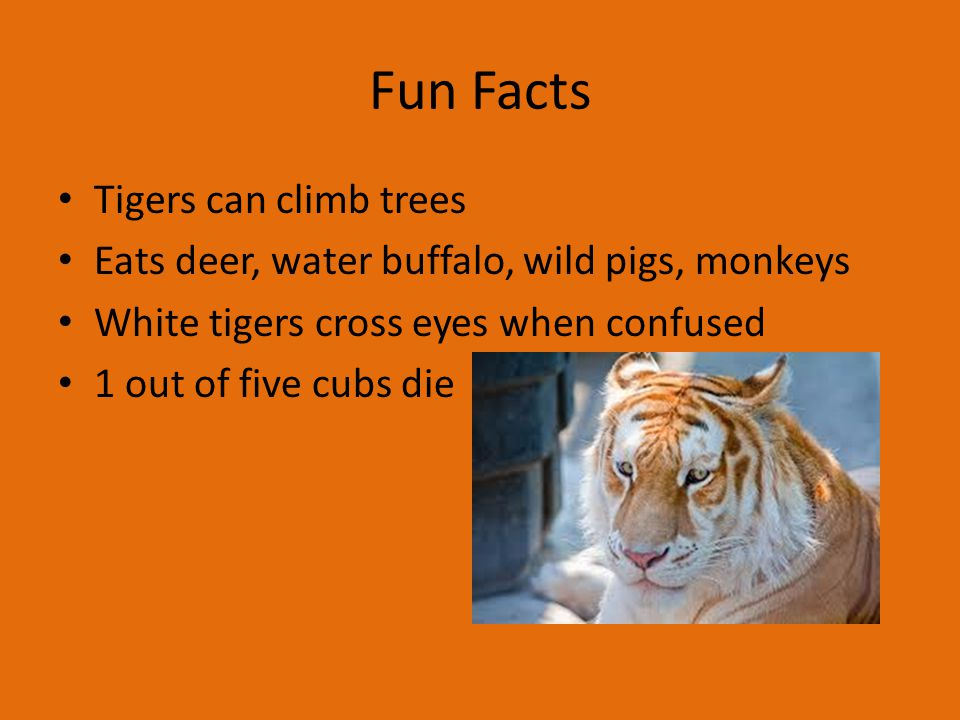 Fun Facts Tigers can climb trees Eats deer, water buffalo, wild pigs, monkeys White tigers cross eyes when confused 1 out of five cubs die