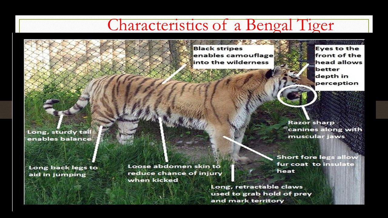 characteristics of the bengal tiger