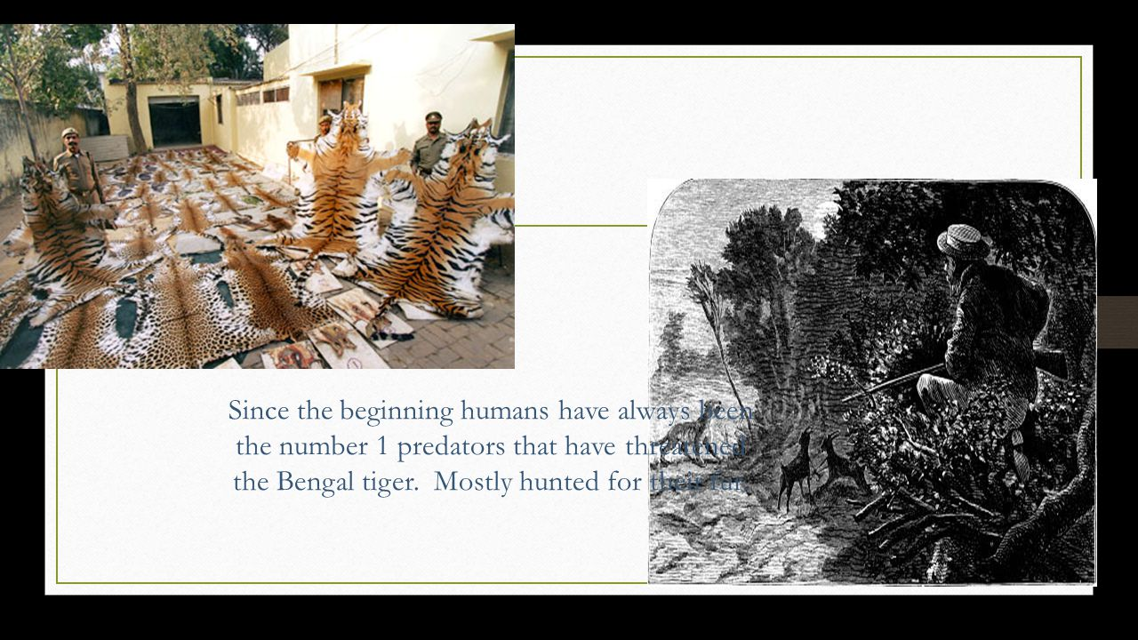 Since the beginning humans have always been the number 1 predators that have threatened the Bengal tiger.