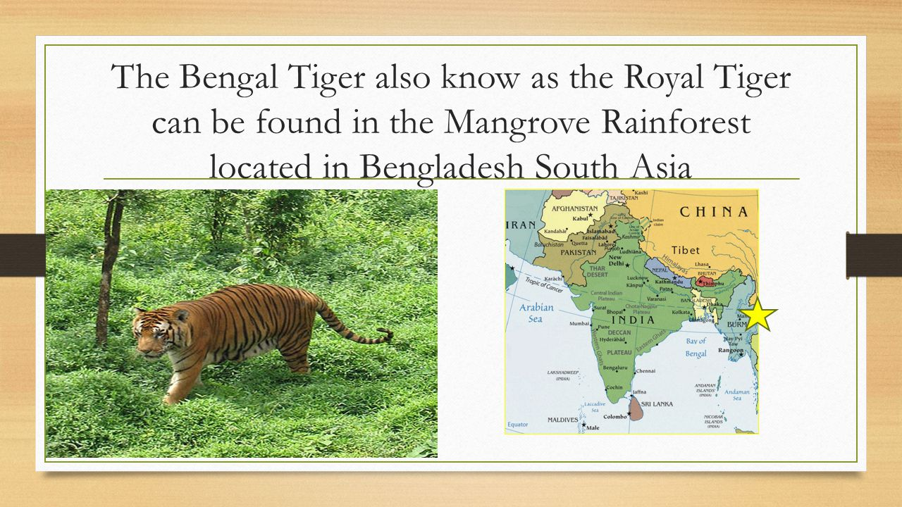 The Bengal Tiger also know as the Royal Tiger can be found in the Mangrove Rainforest located in Bengladesh South Asia