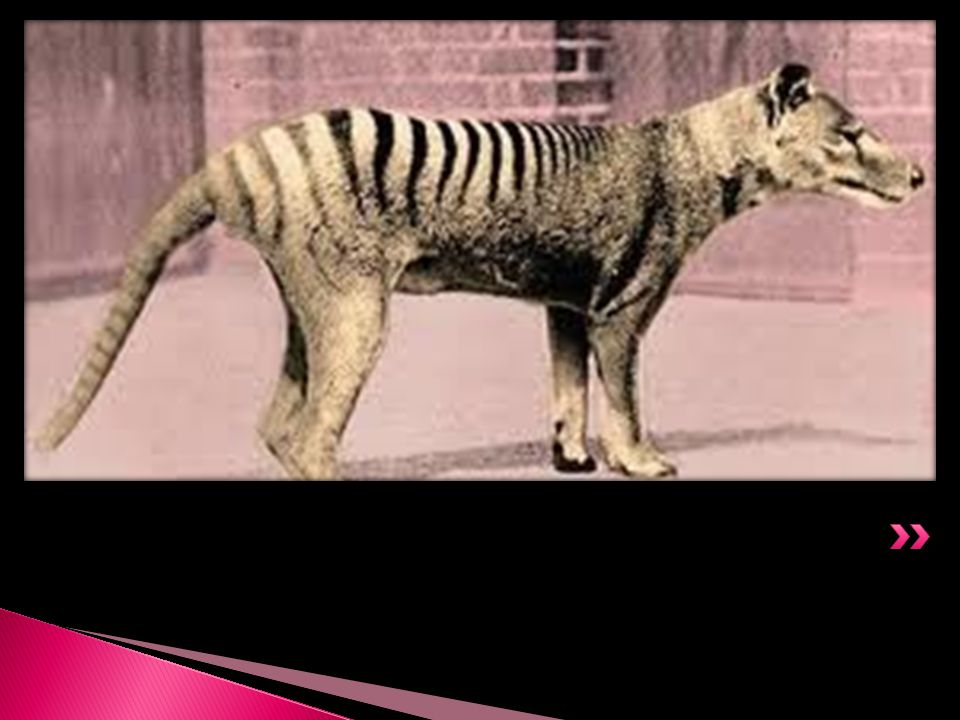 The Tasmanian Tiger went into extinct in the year 1936. This animal is regarded to be the largest carnivorous marsupial in modern day and age. It was
