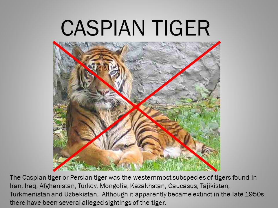 CASPIAN TIGER The Caspian tiger or Persian tiger was the westernmost subspecies of tigers found in Iran, Iraq, Afghanistan, Turkey, Mongolia, Kazakhst