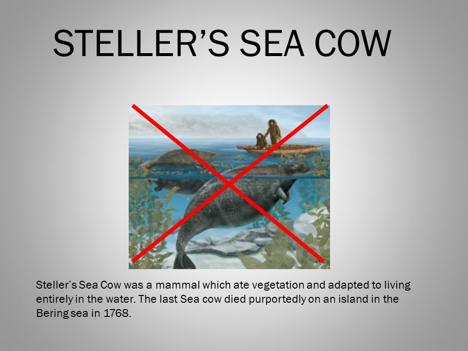 STELLER'S SEA COW Steller's Sea Cow was a mammal which ate vegetation and adapted to living entirely in the water.