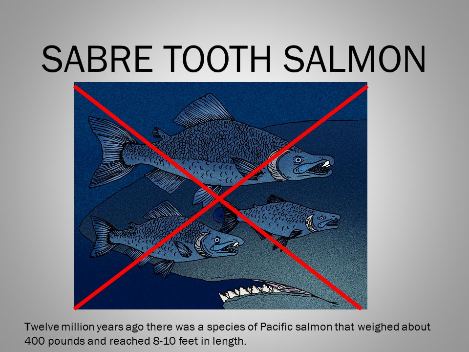 SABRE TOOTH SALMON Twelve million years ago there was a species of Pacific salmon that weighed about 400 pounds and reached 8-10 feet in length.