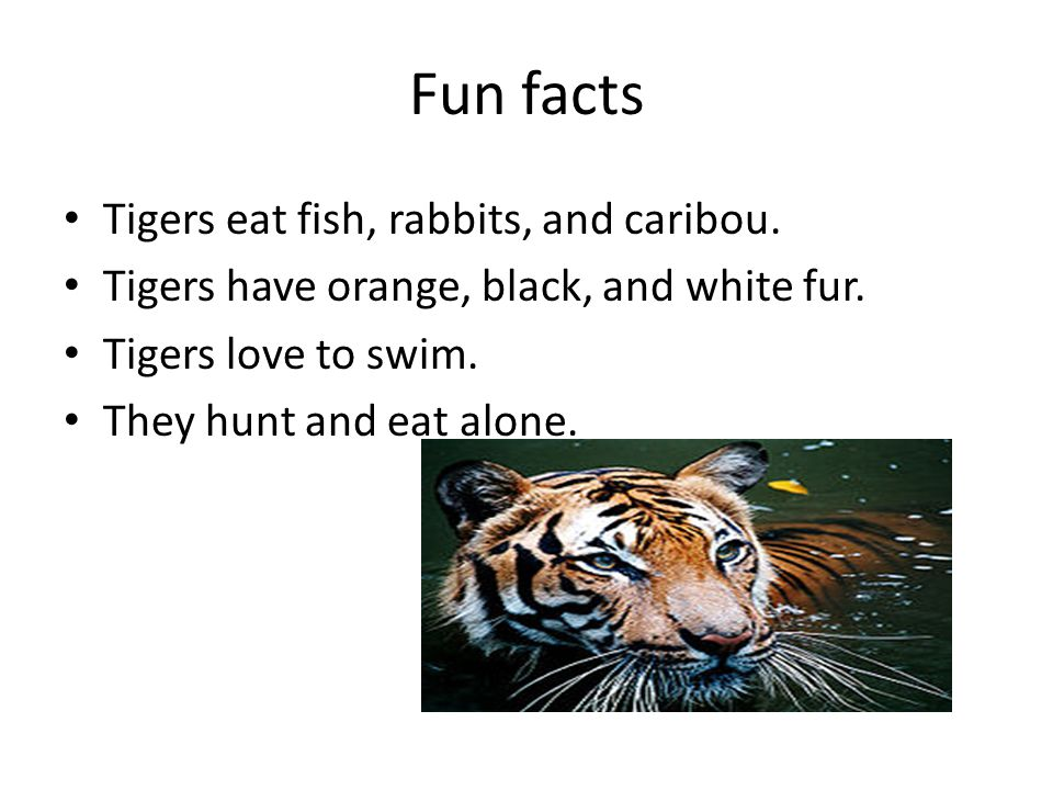 Fun facts Tigers eat fish, rabbits, and caribou. Tigers have orange, black, and white fur.