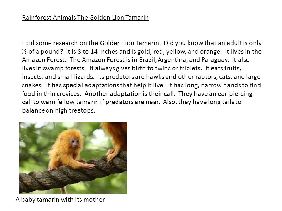 Rainforest Animals The Golden Lion Tamarin I did some research on the Golden Lion Tamarin. Did you know that an adult is only ½ of a pound? It is 8 to