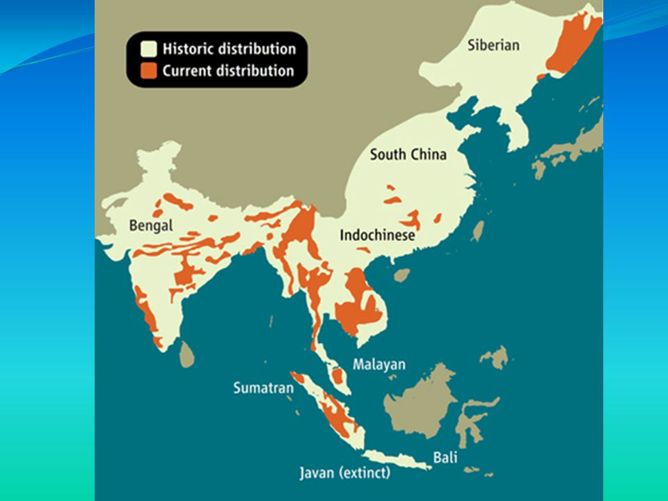 Characteristics Located: The Bengal Tiger is mostly found in India, Bangladesh, Nepal, Bhuton, and Burma.