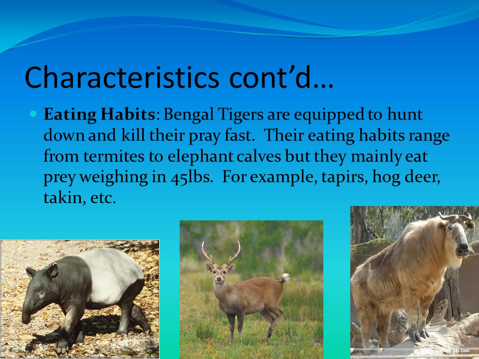 Characteristics cont'd… Niche: The Bengal Tiger is the largest cat and a territorial predator.