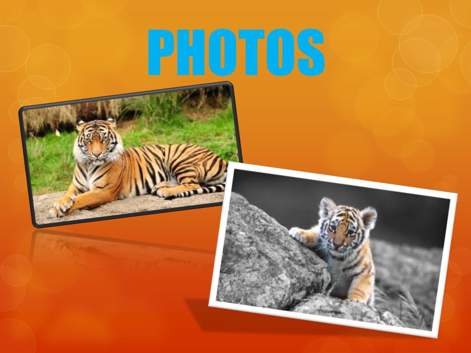 TIGERS Tigers are apart of the cat species They are the largest type of cats They have a body length of about 3.3 m (11 ft) Tigers weigh up to 306 kg