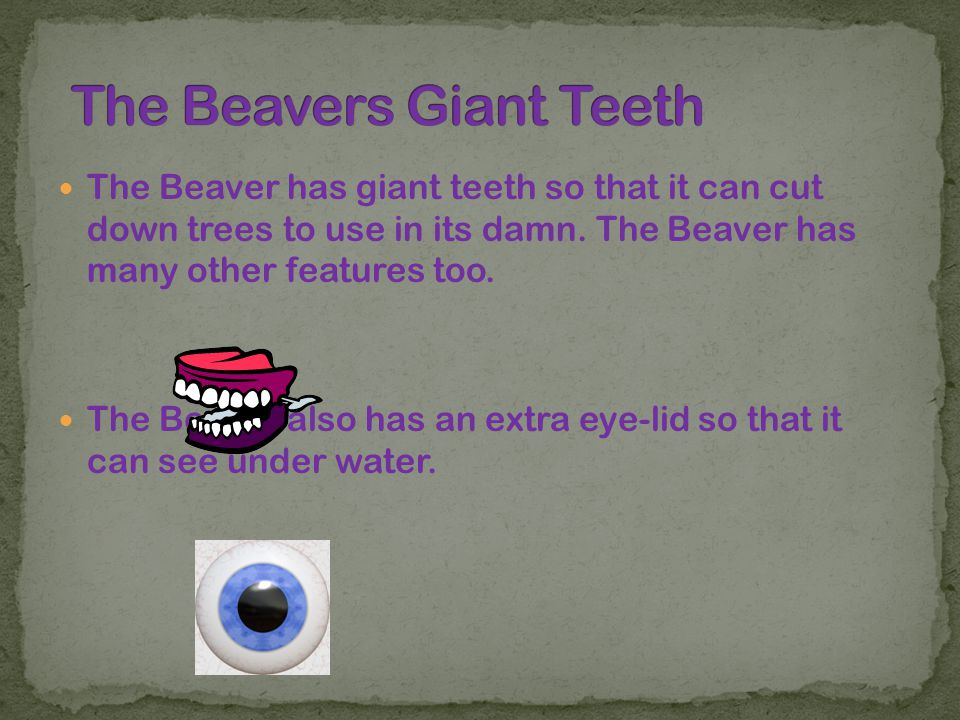The Beaver has giant teeth so that it can cut down trees to use in its damn. The Beaver has many other features too. The Beaver also has an extra eye-